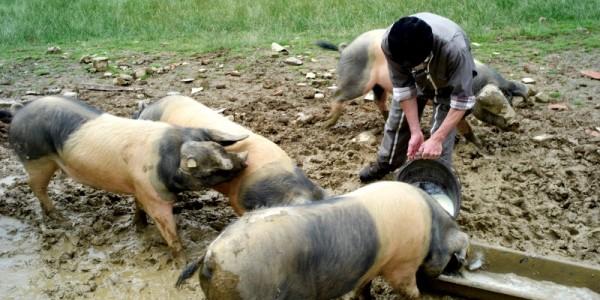 Le porc pie noir du pays Basque