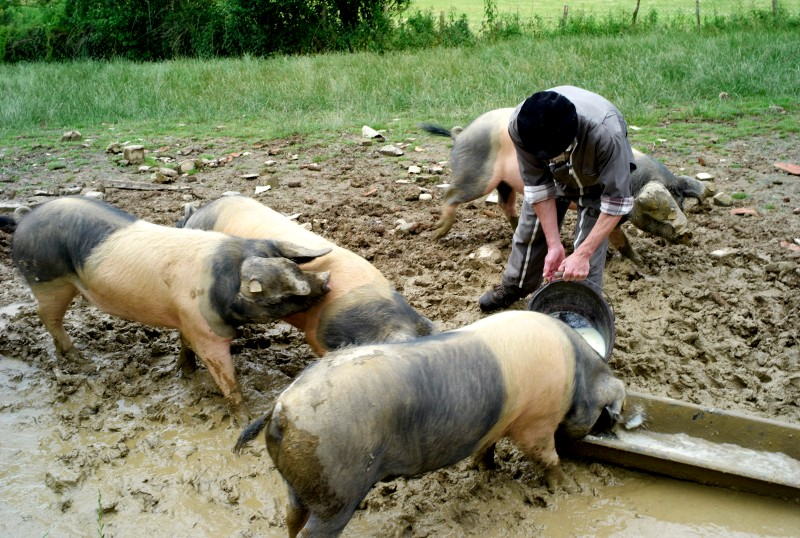 3d9dd796c6 Le porc pie noir du pays Basque - La Ferme Serbielle