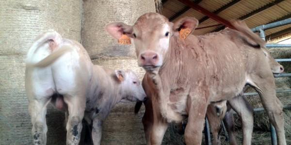 Le veau élevé sous la mère